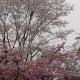 【塩釜院】 桜桜桜
